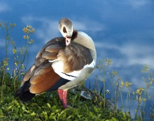 Egyptian goose taken by Jim Adelman