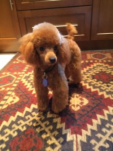 pet apricot poodle belonging to Ellen and Jerry Falk