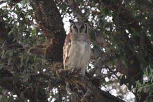 Verreaux eagle owl at Selinda Camp, Botswana.  Taken by  Margie Berg in 2003.