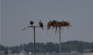 Mom and Pop Osprey getting ready to feed babies in nest on Chesapeake Bay in Maryland